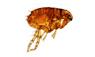 a flea brown